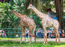 Jirafas de los pares en zoo-granja imagen de archivo
