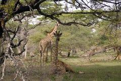Jirafas de Masaai, parque nacional de Selous, Tanzania Foto de archivo libre de regalías