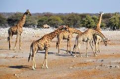 Jirafas en el parque nacional de Etosha Fotos de archivo