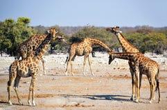 Jirafas en el parque nacional de Etosha Fotos de archivo libres de regalías