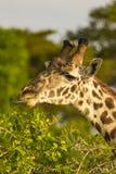 Jirafas en el parque nacional del oeste Kenia África de Tsavo que comen con el tounge hacia fuera Imagen de archivo libre de regalías