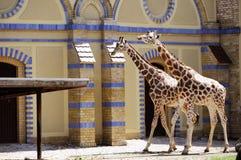 Jirafas en el parque zoológico de Berlín imagenes de archivo