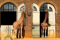 Jirafas en el parque zoológico de Londres Imagen de archivo libre de regalías