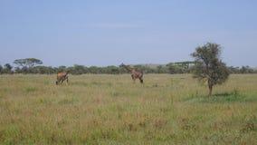 Jirafas en el paseo del pasto y la hierba del pasto en sabana africana salvaje almacen de video