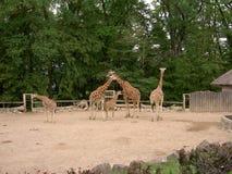 Jirafas en el recinto, parque zoológico Lesna, Zlin, República Checa imagenes de archivo
