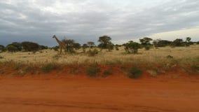 Jirafas en Kenia almacen de metraje de vídeo