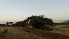 Jirafas en Kenia almacen de video