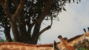 Jirafas en la naturaleza almacen de metraje de vídeo