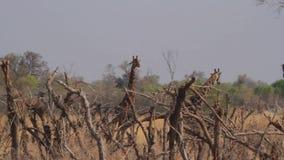 Jirafas en la sabana africana almacen de video