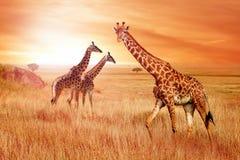 Jirafas en la sabana africana en la puesta del sol Naturaleza salvaje de África foto de archivo libre de regalías