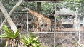 Jirafas en paseo del parque zoológico alrededor de la pajarera metrajes