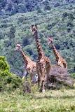 Jirafas en Suráfrica imagen de archivo libre de regalías
