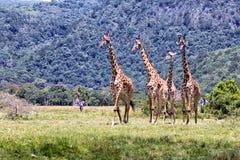 Jirafas en Suráfrica fotografía de archivo libre de regalías
