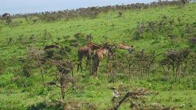 Jirafas en una colina en arbustos con las espinas que pastan las hojas en sabana africana salvaje almacen de metraje de vídeo