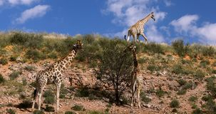 Jirafas lindas en Kalahari, Suráfrica almacen de video