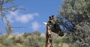 Jirafas lindas en Kalahari, Suráfrica metrajes