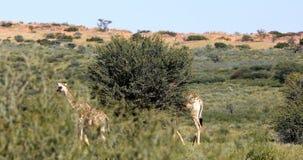 Jirafas majestuosas en Kalahari, Suráfrica almacen de video