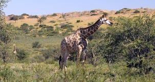 Jirafas majestuosas en Kalahari, Suráfrica metrajes