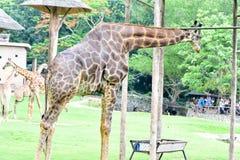 Jirafas que alimentan un poco de comida de los turistas del grupo en el parque zoológico imagen de archivo