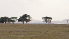 Jirafas que caminan en el llano del africano en la sabana a los árboles del acacia almacen de metraje de vídeo