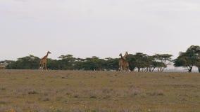 Jirafas que caminan en el llano del africano en la sabana a los árboles del acacia metrajes