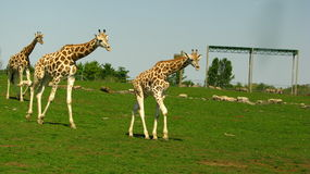 3 jirafas que caminan en fila Foto de archivo libre de regalías