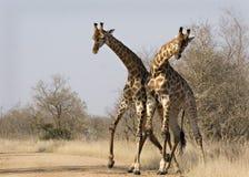 Jirafas que luchan en Kruger Imagen de archivo