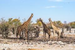 3 jirafas que miran el elefante africano cerca del waterhole de Kalkheuwel en el parque nacional de Etosha Foto de archivo libre de regalías