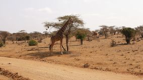 Jirafas que se colocan cerca del árbol del acacia en la reserva árida Samburu almacen de video