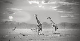 Jirafas que se colocan en los llanos africanos en la puesta del sol Imagen de archivo libre de regalías
