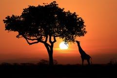 Jirafas surafricanas grandes en la puesta del sol en África Imágenes de archivo libres de regalías