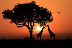 Jirafas surafricanas grandes en la puesta del sol en África Foto de archivo