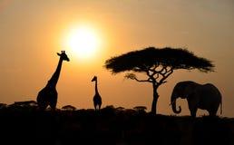 Jirafas y elefante con el árbol del acacia con puesta del sol Foto de archivo