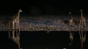 Jirafas y hiena en waterhole almacen de metraje de vídeo
