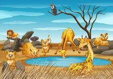 Jirafas y leones por la charca stock de ilustración