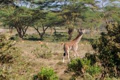 Jiraffe в африканской живой природе саванны Стоковая Фотография RF