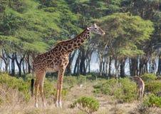 Jiraffe в африканской живой природе саванны Стоковое Фото