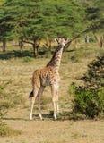 Jiraffe в африканской живой природе саванны Стоковые Фото