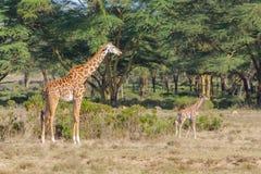 Jiraffe в африканской живой природе саванны Стоковые Изображения