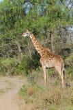 Jiraffe в африканской живой природе саванны Стоковое фото RF