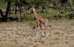 Jiraffe в африканской живой природе саванны Стоковые Изображения RF