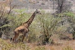 Jiraffe в африканской живой природе саванны Стоковая Фотография