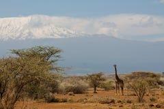 Jiraffe в африканском кусте саванны около Килиманджаро Стоковые Изображения