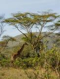 Jiraffe в африканском кусте саванны Стоковое Изображение