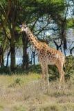 Jiraffe в африканском кусте саванны Стоковые Фото