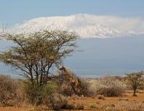 Jiraffe в Африке около Килиманджаро Стоковые Изображения