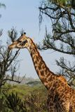 Jiraffe в живой природе Африки Стоковое Фото