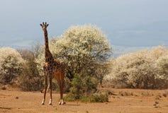 Jiraffe в живой природе Африки Стоковая Фотография