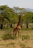 Jiraffe в живой природе Африки Стоковые Фотографии RF