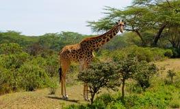Jiraffe en arbusto africano Imágenes de archivo libres de regalías